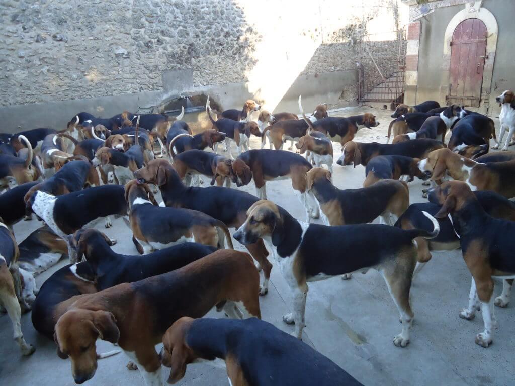 Os cães de caça em Cheverny