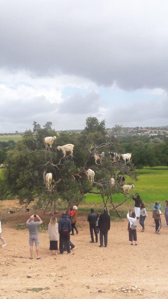 A força das cabras escalando as árvores para comer argan.