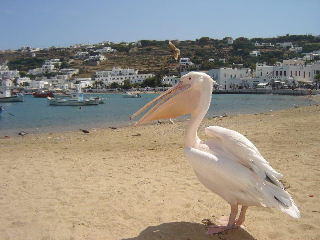 Os pelicanos são um espetáculo a parte
